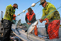 Deckhands on the F/V Okuma pick sockeye salmon out of a gillnet on the Nushagak River in Bristol Bay, Alaska on July 6, 2019. All crewman must hold a crewmember fishing license. Gillnet mesh size is restricted to protect juveniles and other salmon species.(Photo by Karen Ducey)