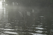Xingu Indigenous Park, Mato Grosso State, Brazil. Aldeia Yawalapiti. Spider webs suspended on twigs above the river at dawn.