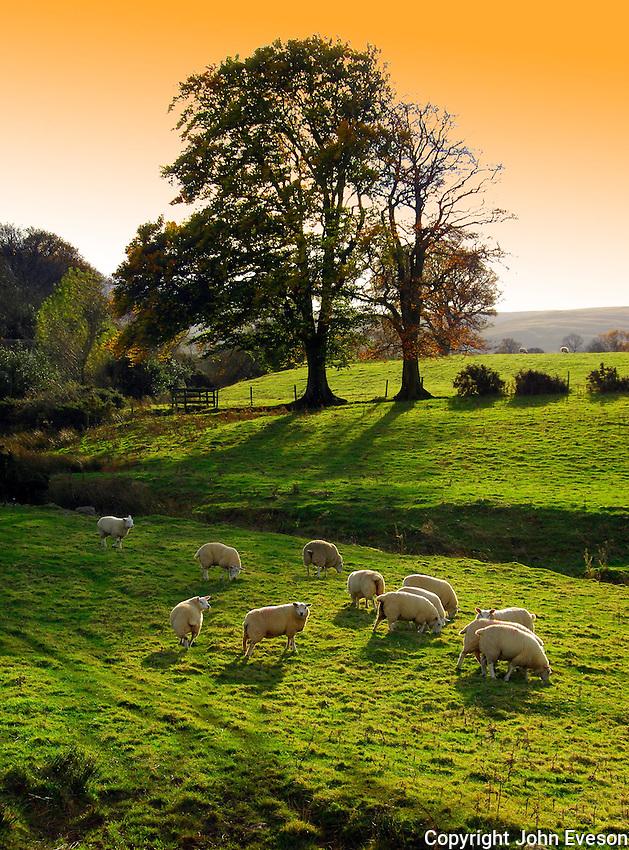 Texel ewe lambs with Autumn tree near Caldbeck, Cumbria.