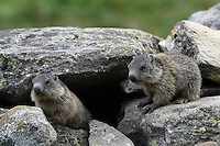 Two Young Marmots