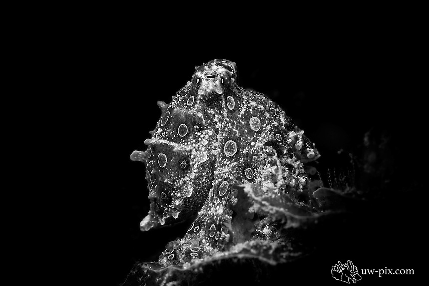 Blue-ringed octopus (Hapalochlaena maculosa) Black & White