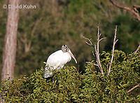 0111-0969  Wood Stork Perched in Tree, Mycteria americana  © David Kuhn/Dwight Kuhn Photography