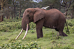Kenya, Chyulu Hills National Park, African elephant (Loxodonta africana) and cattle egret (Bubulcus ibis) . Tolstoy is the largest tusker left in Africa. His tusks grew so long that they had to be shortened.