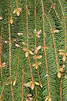 Gewöhnliche Fichte, Rot-Fichte, Rotfichte, Picea abies, männliche Blüten, Nadeln, Common Spruce