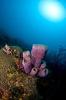 Azure vase sponge, Callyspongia plicifera, and sunburst, St. Lucia, Caribbean, Atlantic