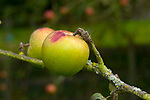Christmas Pearmain apple, sometimes Lane's Prince Albert. Cooking apple which ipens in winter. Known in England since 1841