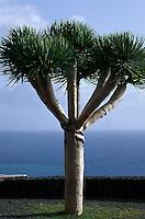 Spanien, Kanarische Inseln, La Palma, Drachenbaum (Drago) bei Puerot Naos