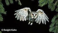 OW07-001z   Saw-whet owl - flying - Aegolius acadicus