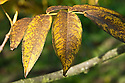 Autumn foliage of wing-nut tree (Pterocarya insignis), early November.