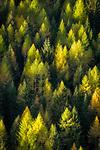 Oesterreich, Kaernten, Nationalpark Hohe Tauern: Laerchen im Herbstkleid | Austria, Carinthia, High Tauern National Park: larch trees in autumn colours
