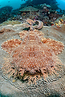 tasselled wobbegong, Eucrossorhinus dasypogon, sitting on a platform coral, Coscinarea macneilli, camouflage, Raja Ampat, West Papua, Indonesia, Indo-Pacific Ocean