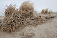 Gewöhnlicher Strand-Hafer, Strandhafer, Helm, auf Weißdüne der Meeresküste, ausgedehntes Wurzelgeflecht an Abbruchkante sichtbar, Dünenschutz, Ammophila arenaria, Beach Grass, Marram Grass