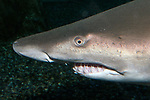 Sand tiger shark face and mouth showing jagged, irregular protruding teeth, helping to easliy identify this species from other sharks.