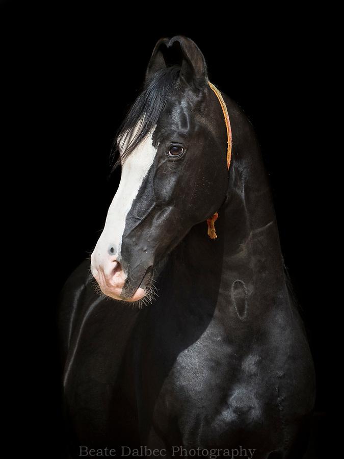 portrait of a black Marwari stallion