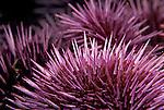 Santa Cruz Island, Channel Islands, California; Purple Sea Urchin (Strongylocentrotus purpuratus) , Copyright © Matthew Meier, matthewmeierphoto.com All Rights Reserved