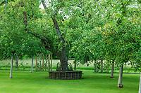 """Les jardins du prieuré d'Orsan : """"le verger de pommiers"""" avec pommiers de plein vent et un banc circulaire et tressé autour d'un vieux poirier<br /> <br /> Mention obligatoire du nom du jardin et pas d'usage publicitaire sans autorisation préalable."""