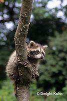 MA25-141z   Raccoon - young raccoon climbing tree - Procyon lotor