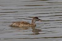 Kolbenente, Kolben-Ente, Weibchen, Netta rufina, Red-crested Pochard, female, Nette rousse