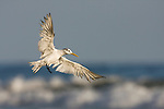 Greater Crested Tern (Thalasseus bergii) landing, Hawf Protected Area, Yemen