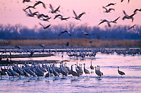 Sandhill Cranes in Platte River at sunrise, Rowe Sanctuary near Kearney, Nebraska, AGPix_0339.