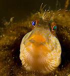 Seaweed Blenny, Parablennius marmoreus, Yellow Seaweed Blenny with green and blue eye, Underwater Marine life Behavior; Blue Heron Bridge; Lake Worth Inlet; Riviera; Florida; USA; Intra Coastal Waterway; North Atlantic Ocean.10-15-11-479