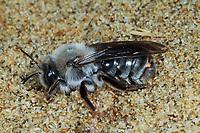 Fächerflügler, Weibchen im Puparium, durchbricht die Haut zwischen zwei Hinterleibssegmenten, parasitiert auf einer Wildbiene, Sandbiene, Andrena, Parasit, Parasitismus, Stylops melittae, Strepsiptera, Neoptera, twisted-wing parasites, female, Les strepsiptères