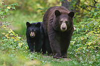 Black Bear Sow (ursus americanus) and her cubs walking on a trail in Riding Mountain National Park, Manitoba, Canada