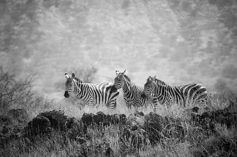 While on the move, the pace is set by the slowest member of the group. This is to assure that the young, old or injured animals are not abandoned. If a member of the group does get separated, the stallion makes a great effort to find it and will search for it. Once a zebra gets separated from the herd for any reason, it becomes very vulnerable to predators.