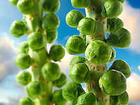 Fresh Brussel Sprouts Growing
