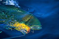 game fish, mahi mahi, dorado or dolphinfish, Coryphaena hippurus , being retrieved after taking a lure East Cape, Baja, Mexico, Pacific Ocean