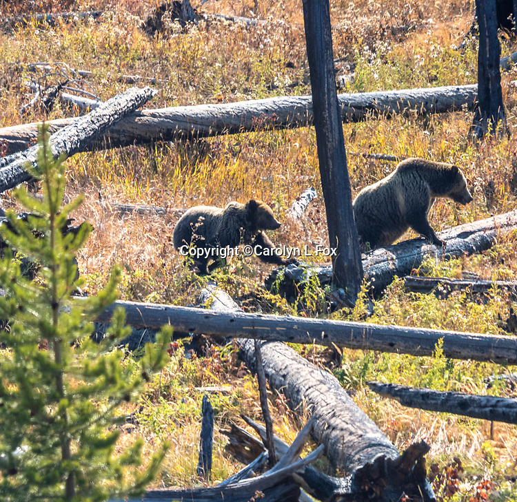 Raspberry and her yearling cub Rascal walk through deadfall in Yellowstone.