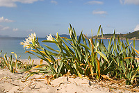 Plants of the sea daffodil (Pancratium maritimum) on dunes Image taken at Barra beach, Pontevedra, Galicia, Spain