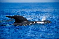 short-finned pilot whale, spouting, Globicephala macrorhynchus, bull, off Kona Coast, Big Island, Hawaii, Pacific Ocean