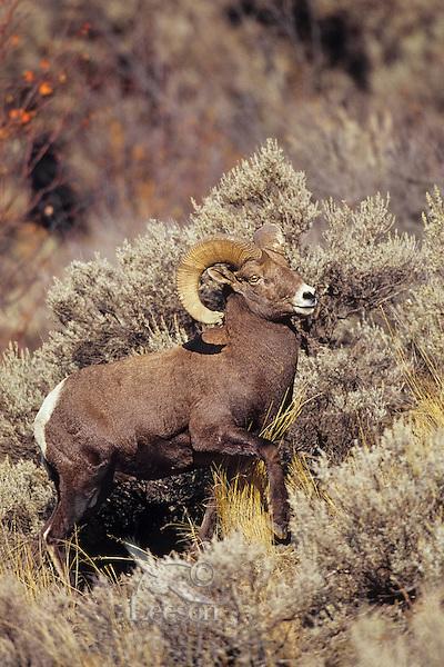 California Bighorn Seep Ram (()vis canadensis californiana).   Western North America.  October.