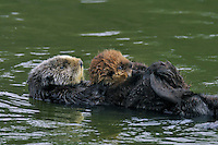 "Sea Otter (Enhydra lutris) mother carrying young pup/baby.  Young pups have light brown or yellowish fur called the ""natal pelage.""  This fluffy fur helps the pup stay afloat before it learns the intricacies of swimming, and it will be completely replaced with dark brown adult fur by the time the pup is about three months old."