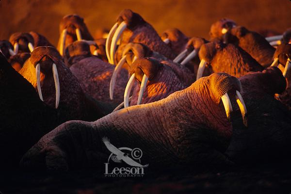 Walrus bulls (Odobenus rosmarus) hauled out along beach, Bering Sea coast, Alaska.