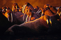 Walrus bulls (Odobenus rosmarus) hauled out along beach, Bering Sea coast, Alaska.