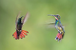 Female (foreground) and male (background) Green-breasted Mango (hummingbird) (Anthracothorax prevostii) in flight. Hovering in front of feeder. Montane rainforest, Rancho Naturalista Lodge, Caribbean slope, Costa Rica.