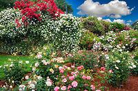 Display garden of roses at Heirloom Gardens, Oregon