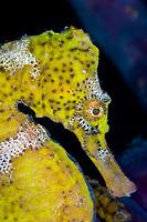Lined seahorse, Hippocampus erectus, Cabo Frio, Rio de Janeiro, Brazil, South Atlantic Ocean