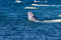 beluga whale, or white whale, Delphinapterus leucas, calf, spyhopping, among large pod, in summer, congregating in the protected shallow waters of Cunningham Inlet, Nunavut, Canada, Arctic Ocean