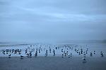Gulls feed along the surf line on a grey dawn at Grayland Beach State Park, Washington.