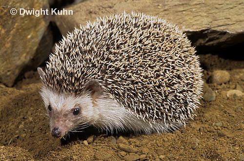 MA42-054z   African Pygmy Hedgehog - Atelerix albiventris