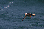 Macareux huppé.Fratercula cirrhata.Le Macareux huppé se trouve dans le nord de l'Océan Pacifique. Cette espèce se reproduit depuis le sud de la Colombie Britannique à travers le sud-est de l'Alaska et les Iles Aléoutiennes, le long du Kamchatka, sur les Iles Kouriles et dans la Mer d'Okhotsk.