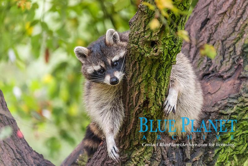 Raccoon (Procyon lotor) sitting on a tree, captive, Saarland, Germany, Europe