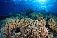 A colorful coral reef off Wakatobi, southeast Sulawesi, Indonesia.