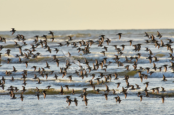 Shorebirds--mostly dunlins and western sandpipers--flying along Pacific Ocean.  Spring migration, Pacific Northwest.  April.  Evening.