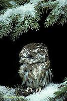 OW02-064z   Saw-whet owl - turning head around - Aegolius acadicus