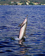 long-snouted spinner dolphin tail-walking, Stenella longirostris, Kona, Big Island, Hawaii, Pacific Ocean