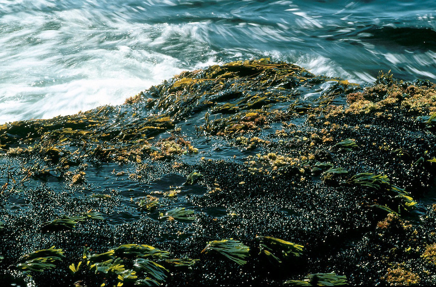 The intertidal zone on Appleore Island, Isles of Shoals, Maine. Photograph by Peter E. Randall